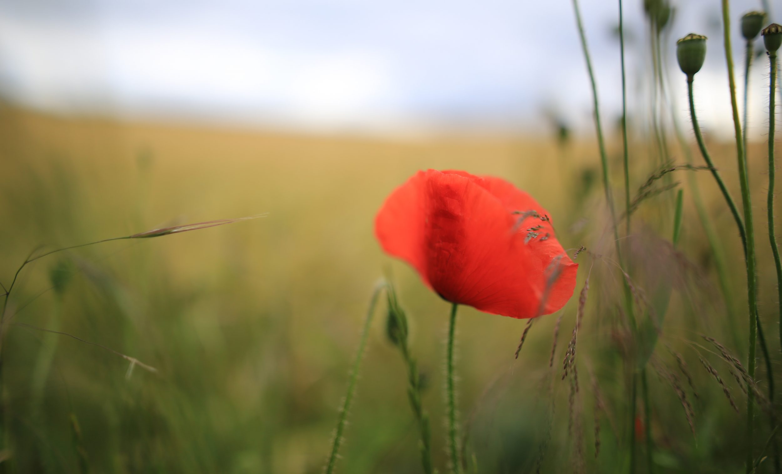 Poppy by Pascal Volk - used under Creative Commons License